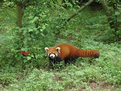 A red panda near Chengdu (成都), China