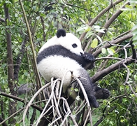 A panda sleeping in a tree near Chengdu (成都), China