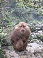 A macaque at Mount Emei or Emeishan (峨眉山) in Sichuan Province, China