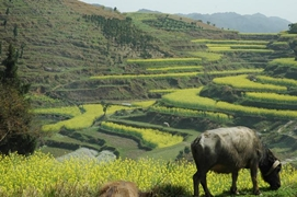 An ox grazes in terraced mountain fields near Fenghuang (凤凰), Hunan Province, China