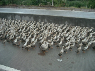 Guangdong - fowl traffic - a flock of birds walking along a road - small - 320 x 240