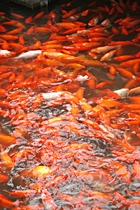 A densely packed cluster of red and white carp in West Lake's Red Carp Pond, also called Viewing Fish at the Flower Pond
