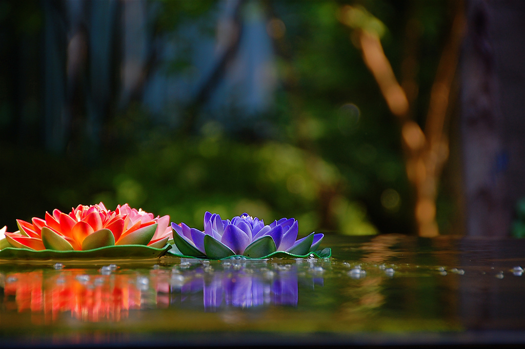 Vividly colored lotus blossoms on the surface of the water near West Lake in Hangzhou (杭州), China