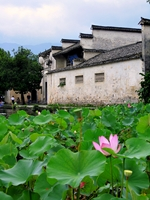 Lotus pads and flowers with a traditional building in the background in Hong Village, near Huangshan, China