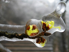 Frozen flower buds at Huangshan (Yellow Mountain), China