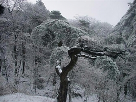 Snow-covered trees at Huangshan (Yellow Mountain), China