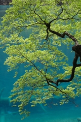 A tree beside the water of Shuanglong Hai ('Twin Dragon Lake') in Jiuzhaigou (九寨沟), Sichuan Province, China
