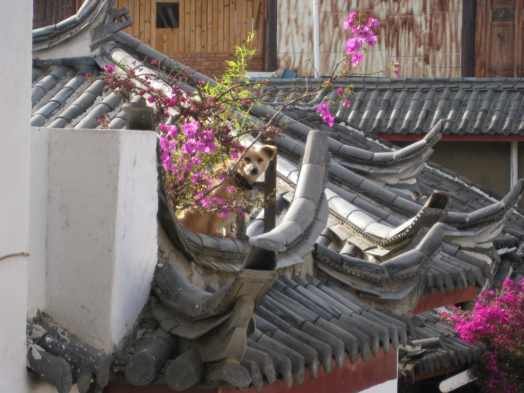 Lijiang - Dayan - dog on roof - Chris Feser