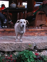 a cute dog in Shuhe Old Town, Lijiang, China