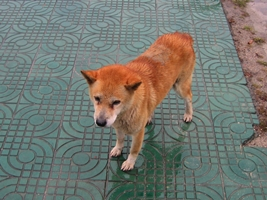 a classic Chinese dog raised for food in Shaoguan, China