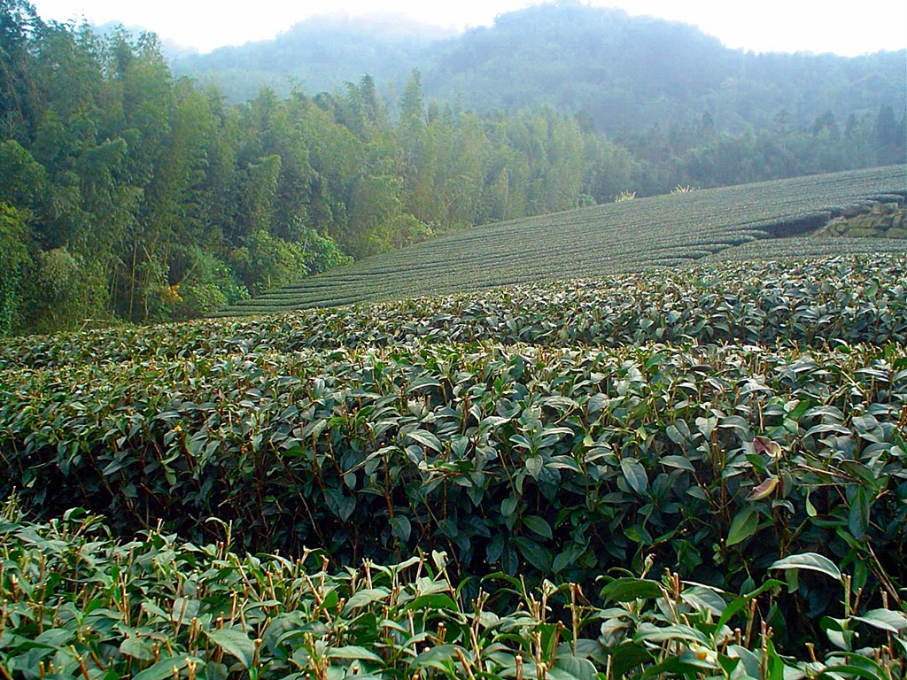 A tea field in Taiwan's Alishan area