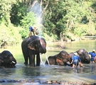 Elephants being bathed by their trainers in Thailand