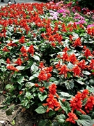 Red flowers in Wuxi (无锡), China's Xihui Park
