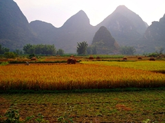 Grain fields and karst hills beside the Yulong River (遇龙河) near Yangshuo (阳朔), China
