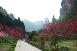 Flowering trees bloom among karst (limestone) land formations in Zhangjiajie (张家界), Hunan Province, China