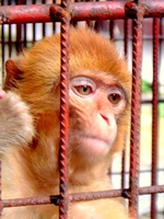 A monkey with orange fur in Zhangjiajie (张家界), Hunan Province, China